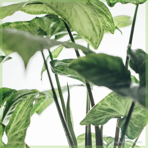 Syngonium podophyllum White butterfly kopen