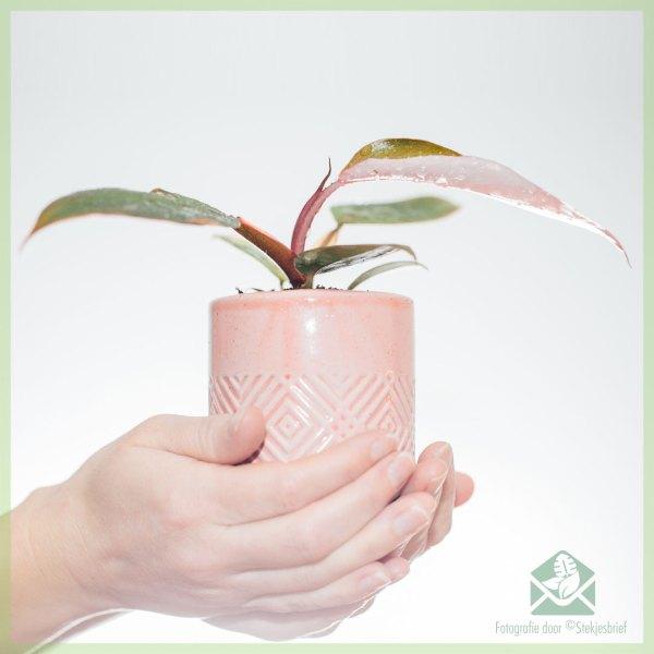 Philodendron Pink Princess kopen en verzorgen