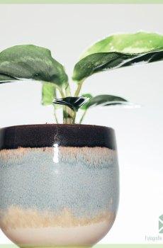 Calathea roseopicta green kopen en verzorgen