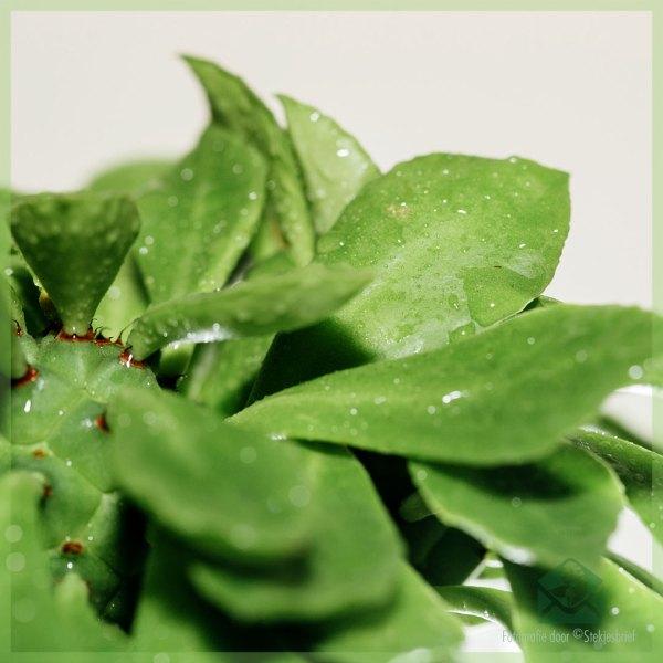 Euphorbia monadenium guentheri kopen verzorgen