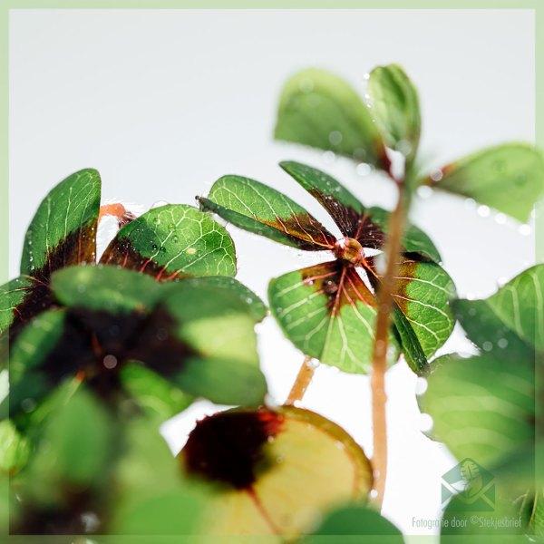 Geluksklavertje - Oxalis deppei - kopen