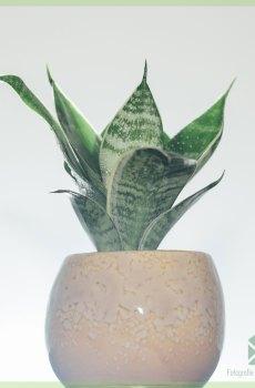 Sansevieria Green Hahnii - Vrouwentong kopen