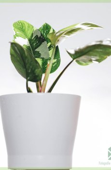 Philodendron White Knight - My Valentine - kopen