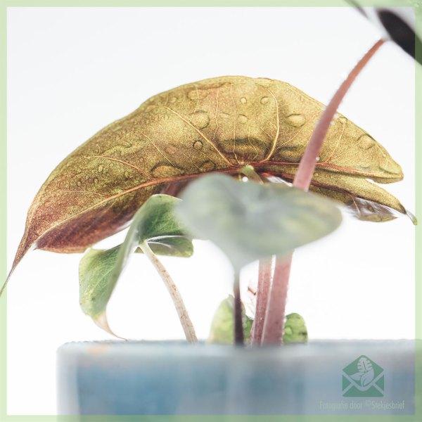 Alocasia Pink Dragon miniplant kopen