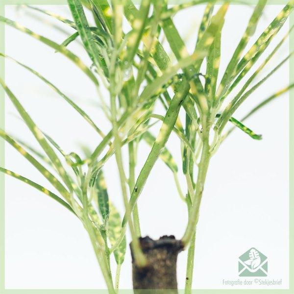 Croton Pictum (codiaeum) kopen