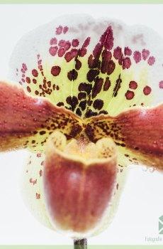Paphiopedilum Orchidee (Venusschoentje) kopen en verzorgen