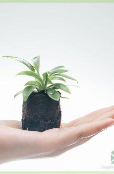 Philodendron Birkin Variegata geworteld stekje kopen en verzorgen