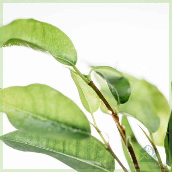 Ficus Benjamina Natasja kopen
