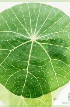 Stephania Erecta - plantje - kopen en verzorgen