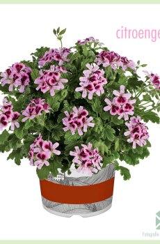 Citroengeur kleur lila - Geurgeranium geworteld stekjes kopen