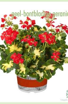 Geranium geelbont bontbladig geworteld stekjes kopen