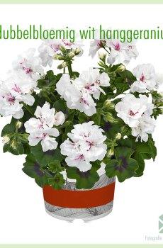 Hanggeranium dubbelbloemig kleur wit geworteld stekjes kopen