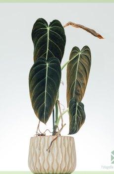 philodendron melanochrysum kopen