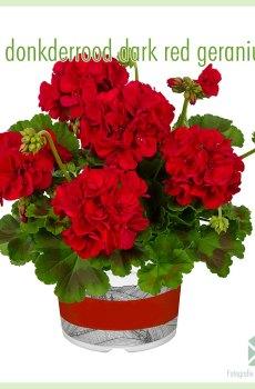 Staande zonale geraniums donkerrood dark red stekje kopen