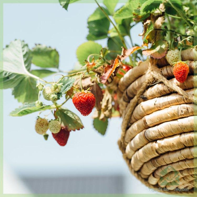 Alles wat je moet weten over het telen van aardbeien