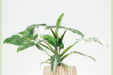 Philodendron White Princess online kopen en verzorgen