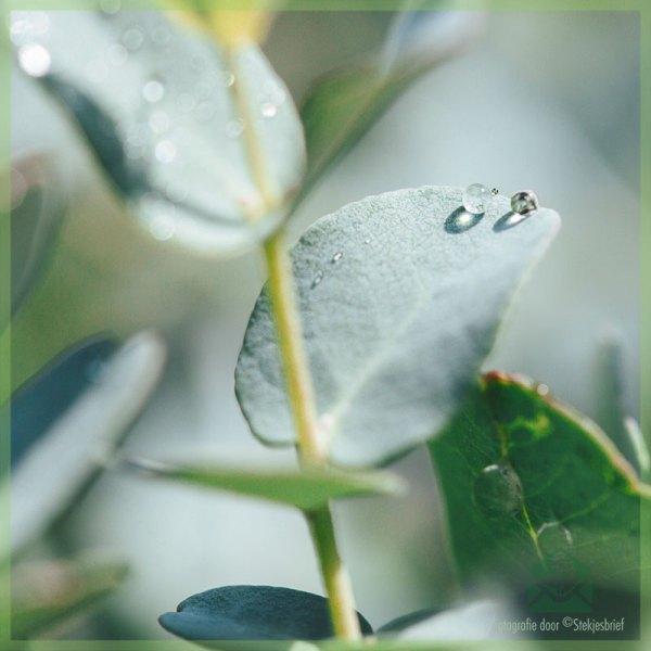 Stappenplan: Eucalyptus thee uit je eigen tuin maken