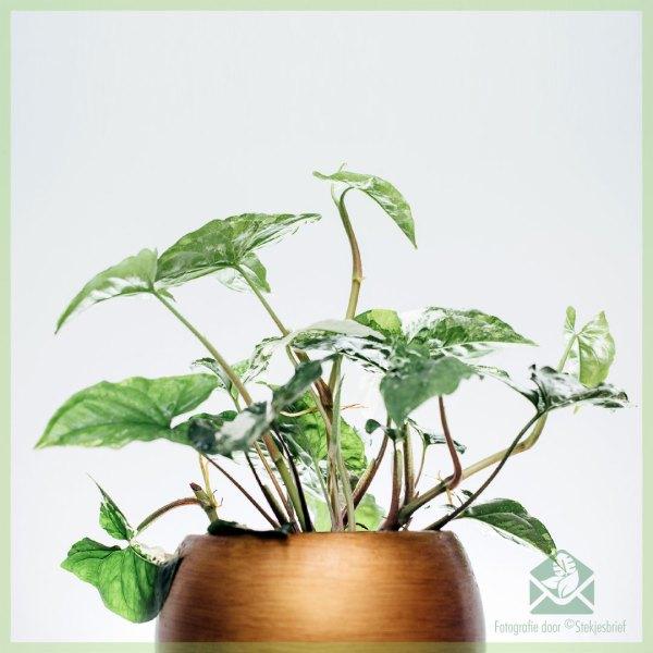 Syngonium Podophyllum Albomarginata kopen