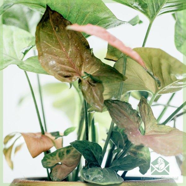 Syngonium Podophyllum Regina Red kopen