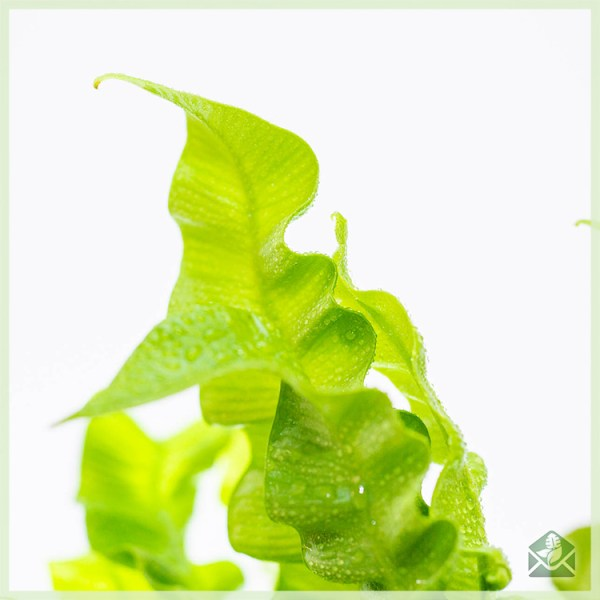Asplenium Nidus varen plantje kopen
