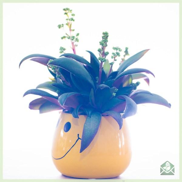 Crassula orbicularis rosularis kopen