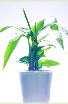 Heliconia exotische bloeinde plantje kopen en verzorgen