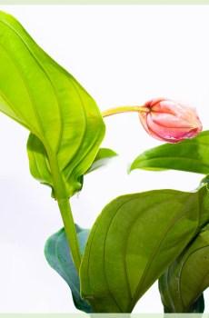 Medinilla magnifica (Trosbloem) kopen, stekken en verzorgen