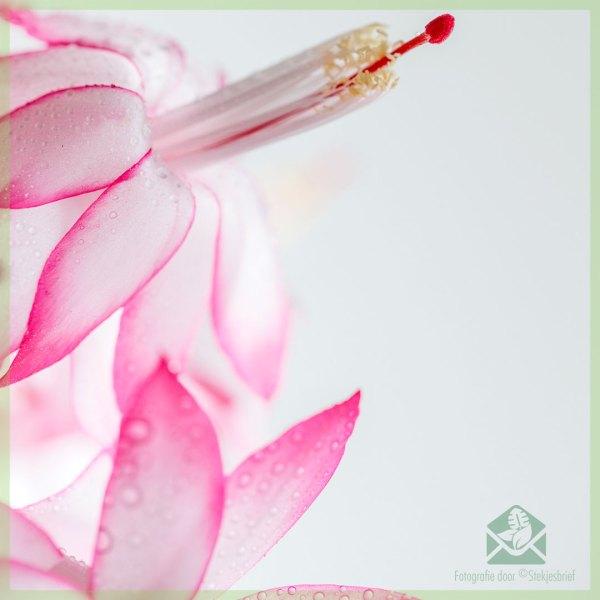 Lidcactus Schlumbergera bloeinde Pink Lady kopen