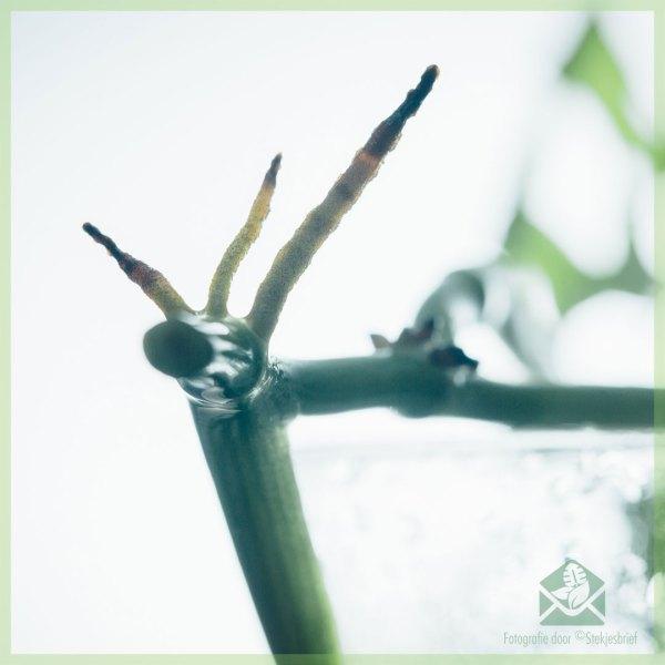 Monstera adansonii variegata ongeworteld kopstekje kopen