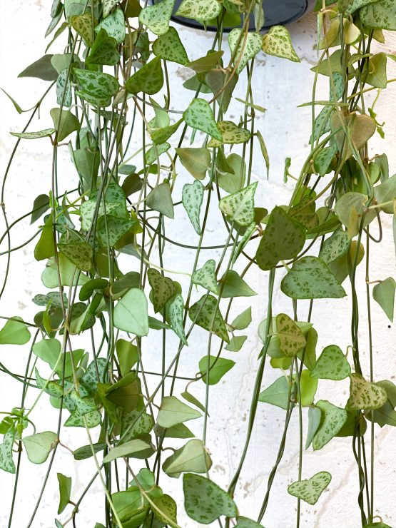 Ceropegia Woodii String Of Spades
