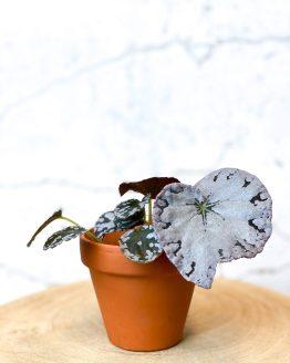 Begonia Rex Chayo