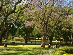 Jacarandas in flower in Hyde Park, Perth