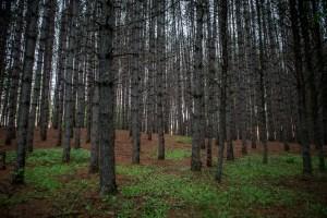 La forêt des Stevenson