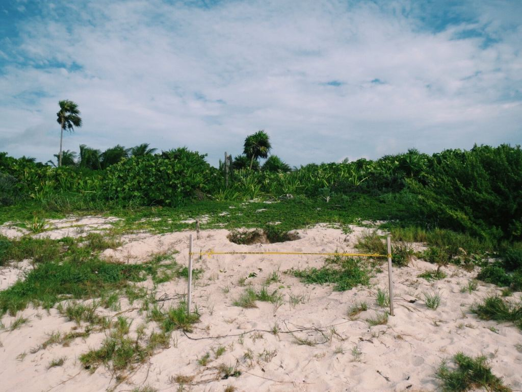 Sea turtle nest, Tulum