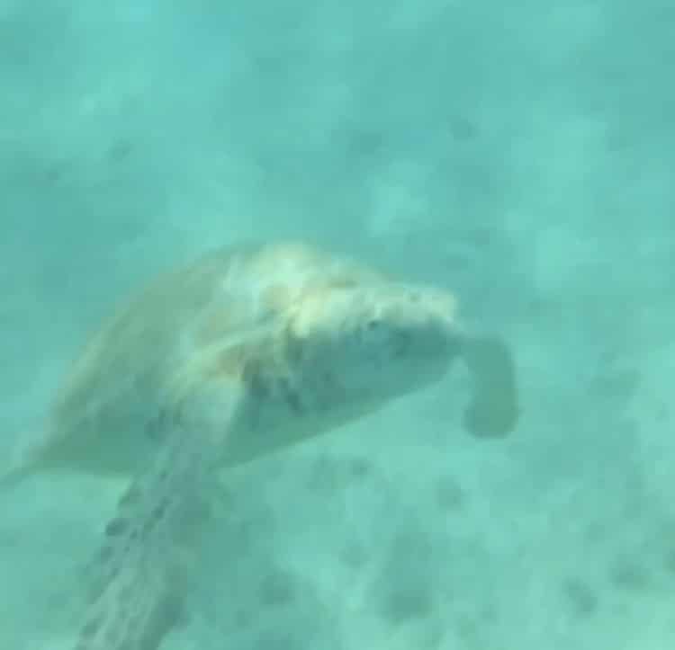 Sea turtles at Akumal