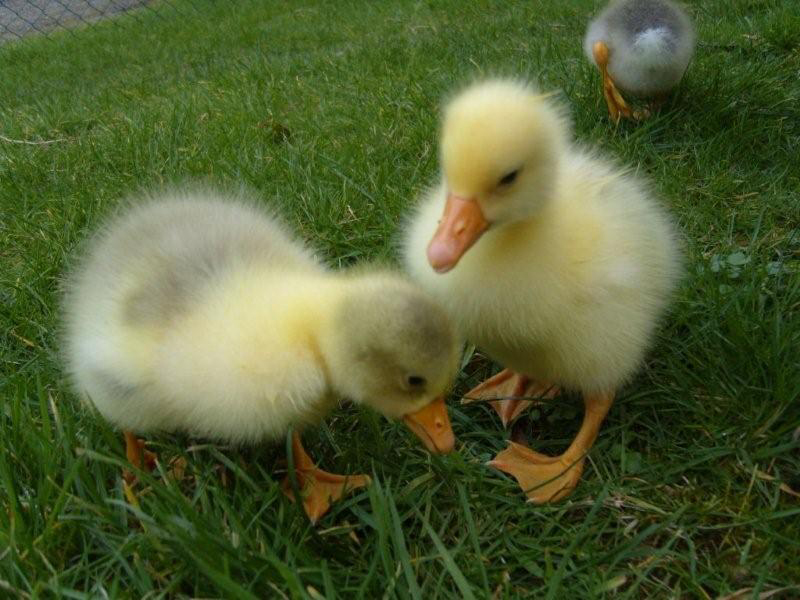 Fluffy-chics