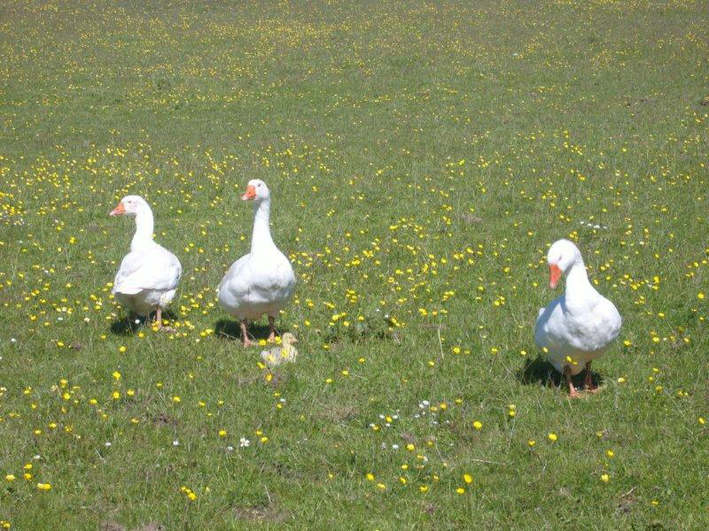 Geese-in-the-meadow