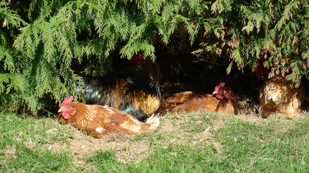 Hens-in-the-shade