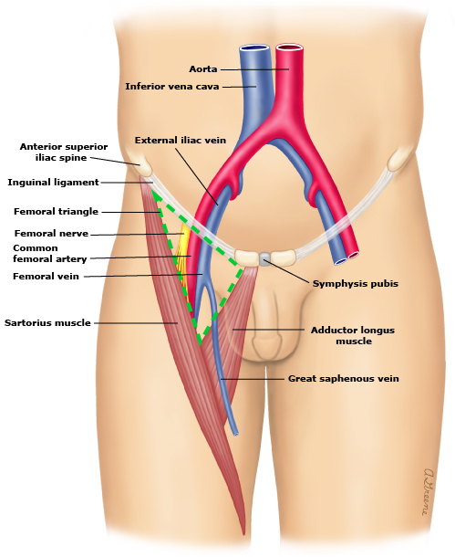 common femoral artery – stepwards, Muscles
