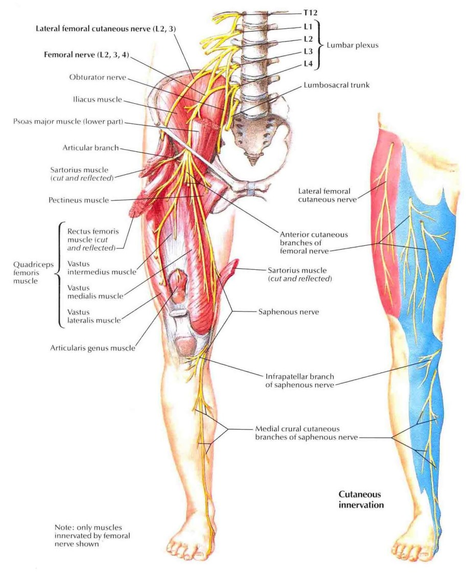 femoral nerve location and function – lickclick, Muscles