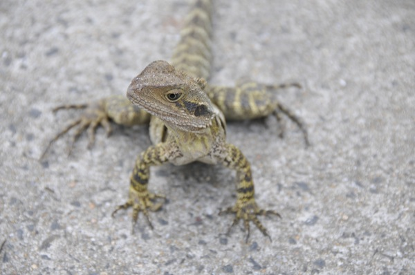 Water lizard