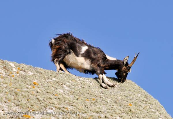 Rock climbing goats!