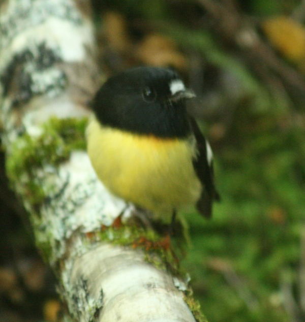 A yellow-breasted Tomtit.