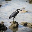 Eastern Reef-egret