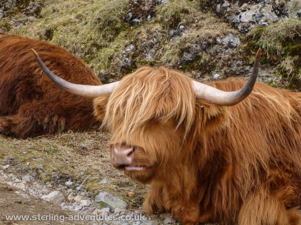 "Highland Cow ... ""moo"" !"