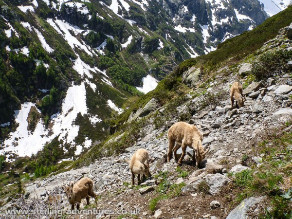 An incredibly tame (indifferent to our presence) herd of Alpine Ibex (aka Bouquetin)