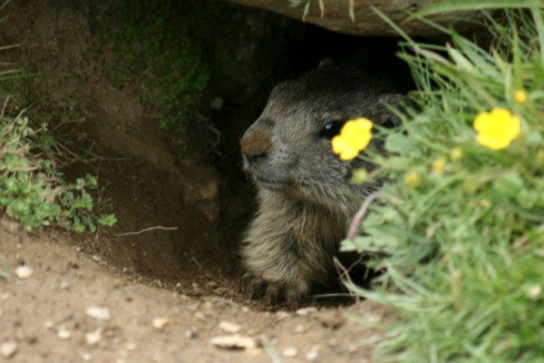 A young marmot pokes its nose out of its burrow.