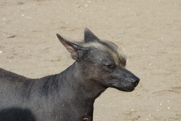 A Peruvian dog.  No body hair except the cute tuft on its face.