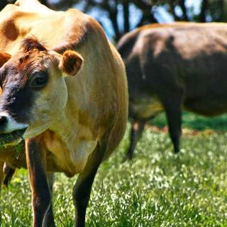 Grazing and Soil Building: Image of a cow
