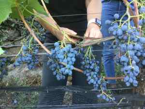 a pair of hands cutting a bunch of ripe grapes off a vine